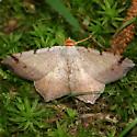 Bicolored Angle Moth - Dorsal - Macaria bicolorata