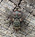 Tachinid - Peleteria - female