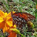 Unknown butterfly on cosmos bipinnatus - Agraulis vanillae