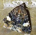 Porch Moth 20 - Tyta luctuosa