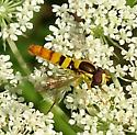 Insect on Queen Anne's Lace - Sphaerophoria - male