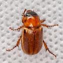 Unknown Beetle - Cyclocephala