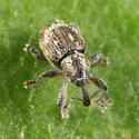 Duckweed Weevil - Tanysphyrus lemnae