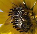 Bee? - Triepeolus