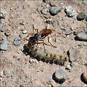 Cutworm Wasp (Podalonia) - Podalonia