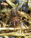 Small Spider with Pale Spots - Cybaeus