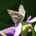 Arizona Butterfly - Pyrgus - male