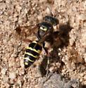 Hoplisoides hamatus - female