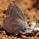 Butterfly 1 - Celastrina ladon