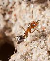 Ant - Dorymyrmex bicolor