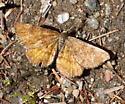 Which moth sp.? - Ematurga amitaria - male
