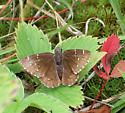 Northern Cloudywing? - Thorybes pylades