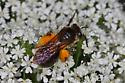 Black Bee with pollen covered legs - Andrena crataegi - female