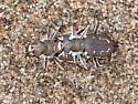 Hairy-necked Tiger Beetle - mating pair - Cicindela hirticollis - male - female