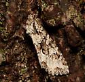 Noctuidae, lateral - Platypolia anceps