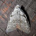 Small moth, April - Nola clethrae
