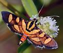 Red-waisted Florella Moth - Hodges#5284 - Syngamia florella