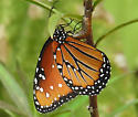 Danaus gilippus laying eggs on Asclepias curassavica - Danaus gilippus - female
