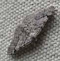 Ennominae?  Perhaps Digrammia denticulata