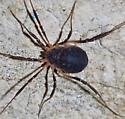 Is this a Harvestman? I've never seen one like this here in central Texas,  - Eumesosoma roeweri