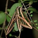 Banded Sphinx - Hodges#7865 (Eumorpha fasciatus) ? - Eumorpha fasciatus