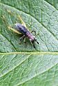 Cricket? - Phyllopalpus pulchellus - male