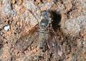 Bee Fly? - Aphoebantus