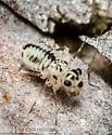 bark fly nymph??? - Metylophorus purus
