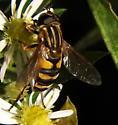 Bee fly? - Helophilus