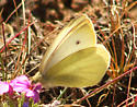 Cabbage White Butterfly - Pieris rapae - male