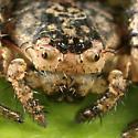 Crab Spider - Bassaniana