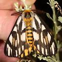 moth - Hemileuca eglanterina