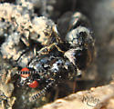 Hairy Rove Beetle, Creophilus maxillosus, preying upon adult fly - Creophilus maxillosus