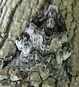 moth 1 - Euparthenos nubilis