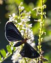 Moth  - Melanchroia chephise