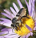 Megachile? - Megachile parallela - female