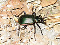 Green Beetle - Calosoma