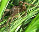 Dolomedes triton  - Dolomedes triton - female