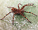 Unknown spider - Dolomedes tenebrosus