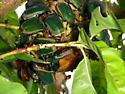 Green June (Fig) Beetles - Cotinis mutabilis