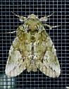 Texas SE Gulf Coast - Heterocampa umbrata
