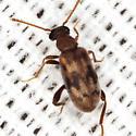 Ant-like Leaf Beetle - Emelinus melsheimeri - female