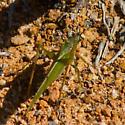 Long-winged green katydid - Scudderia