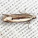 New Anacampsis - Hodges #2251.95 - New-gen new-species