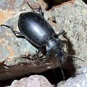 Carabidae? - Calosoma peregrinator