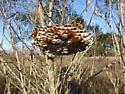 Polistes major nest - Polistes major
