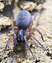 large dark spider