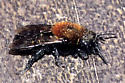 Bee black with red hairy thorax - Osmia