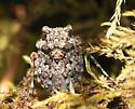Toad Bug - Gelastocoris oculatus