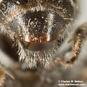 Megachilid - male